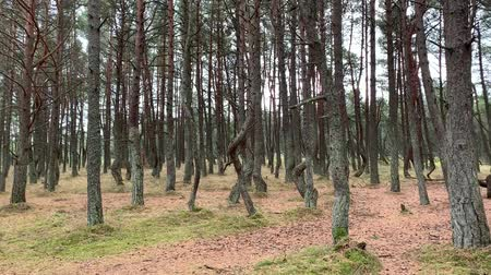 Dancing forest in National park Curonian spit in Kaliningrad, Russia. Curved conifers in the forest.