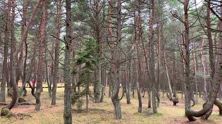 ohnutý : Dancing forest in National park Curonian spit in Kaliningrad, Russia. Curved conifers in the forest. UNESCO world Heritage Site