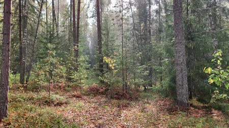 weathered : Rain falling in autumn forest. Drops shining on shinshine. Heavy rain. Stock Footage