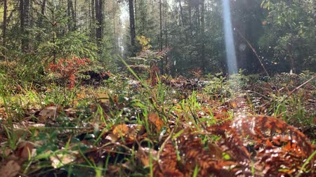 Rain falling in autumn forest. Drops shining on shinshine. Heavy rain. 動画素材