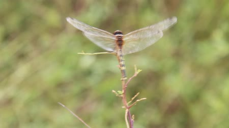 ważka : Back view of dragonfly in windy day Wideo