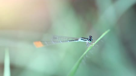 Close up of colorful damselfly with green eyes, blue body and orange tail 影像素材