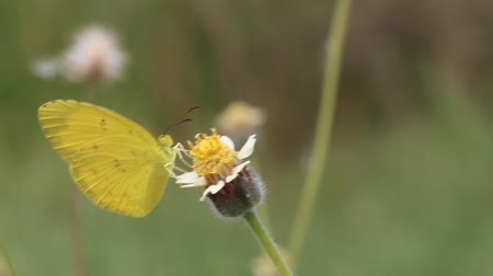 butterflies in the stomach : Close up of small grass yellow (Eurema brigitta) butterfly feeding on flower