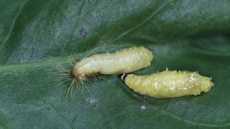 Pupation of Painted Jezebel larva by moulting its skin, speed motion video