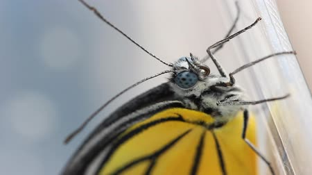 butterflies in the stomach : Close up of newly born (just after emerging) Painted Jezebel butterfly