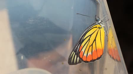 Close up of newly born (just after emerging) Painted Jezebel butterfly