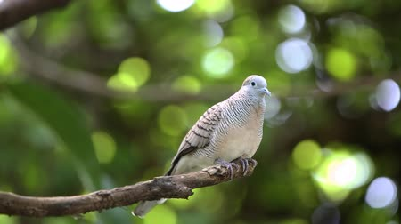 coo : Zebra dove (Geopelia striata) or barred ground dove perching on stem Stock Footage