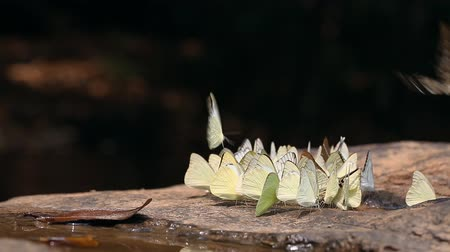 Group of butterflies puddling on the ground in nature 影像素材