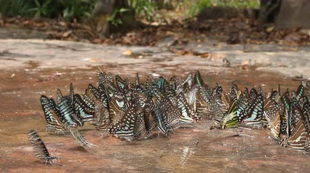 Group of butterflies puddling on the ground in nature, slider shot 影像素材