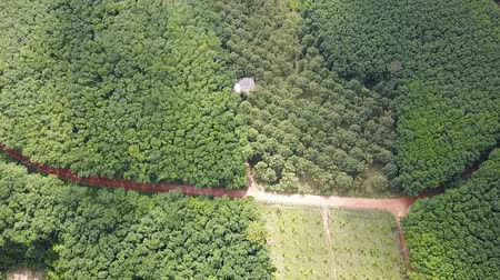 Aerial view from drone of durian trees orchard and rubber trees plantation, Thailand 影像素材