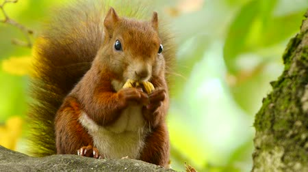 белка : Red Squirrel at the Chestnut, Close Portrait in 3 clips Стоковые видеозаписи