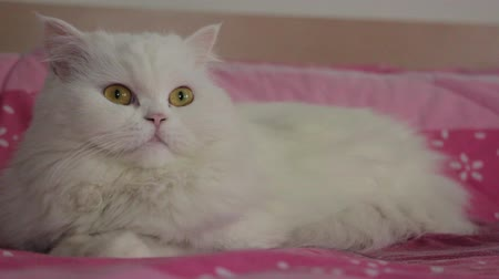 lying cat : White Persian cat on the pink bed, closeup view