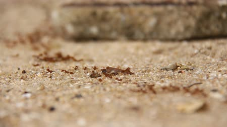 formicidae : Ants are insects of the Hymenoptera family Formicidae ants nest building a large empire. Stock Footage