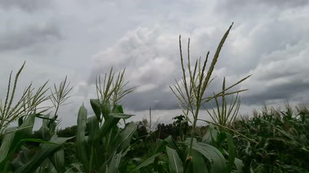 Corn in the garden Stok Video