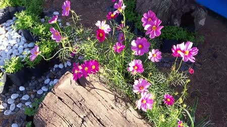 Cosmos flowers in the garden by the wind.