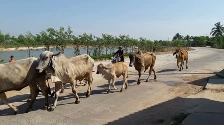 Farmers bring cattle to the pasture.