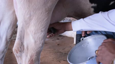 Workers are milking their cows by hand. Stok Video