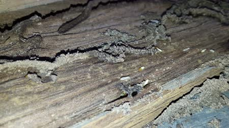 brood : Many termites eat the wood of the house. Stock Footage
