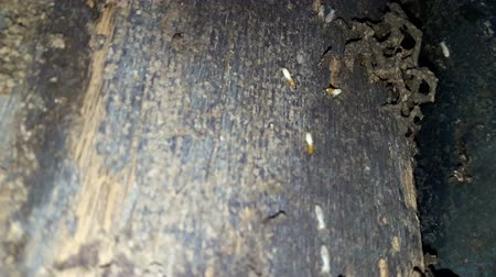 nuisance : Many termites eat the wood of the house. Stock Footage