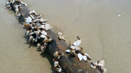 Sea Scallop on the logs on the seashore. Stok Video