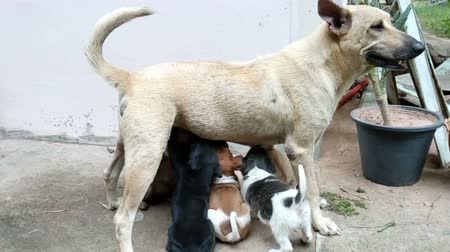 Mother dog nursing puppies several.