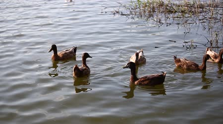 çiftleşme : Ducks are swimming in the pond At the park. Duck is swimming for food in the morning.