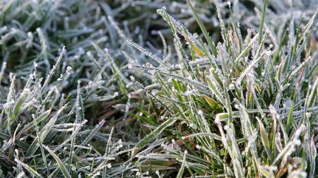 don : Close Up Pull Focus Grass Showing Morning Dew  Frost & Gentle Breeze  Wind - Nature Beautiful Light - English Nature Details Countryside Walks - Wild Life Backgrounds Stok Video