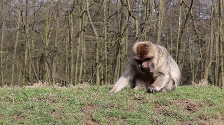 safari animals : Beautiful Monkey Eating from Ground - Barbary Macaques of Algeria & Morocco   Forest Monkey in Staffordshire woodland, gardens & meadows & total freedom, chattering monkeys crashing through branches. World of animal magic Backgrounds