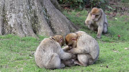 animal world : Beautiful Family of Young Monkeys Groom and Play - Barbary Macaques of Algeria & Morocco   Forest Monkey in Staffordshire woodland, gardens & meadows & total freedom, chattering monkeys crashing through branches. World of animal magic Backgrounds
