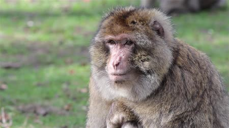 animal world : Beautiful Monkey Close Up - Barbary Macaques of Algeria & Morocco  Forest Monkey in Staffordshire woodland, gardens & meadows & total freedom, chattering monkeys crashing through branches. World of animal magic Backgrounds