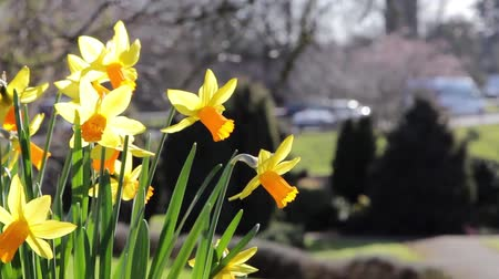 narciso : Daffodil Flowers in Foreground Close Up in Park, Road in Background - Spring Flower Nature Backgrounds