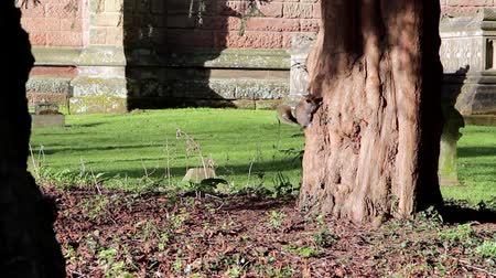 churchyard : Grey Squirrel Jumps on to & Climbs Tree Trunk in Churchyard - Squirrels Playing Stock Footage