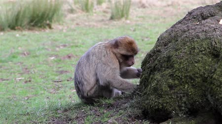 majom : Beautiful Monkey Eating from Ground - Barbary Macaques of Algeria & Morocco Stock mozgókép