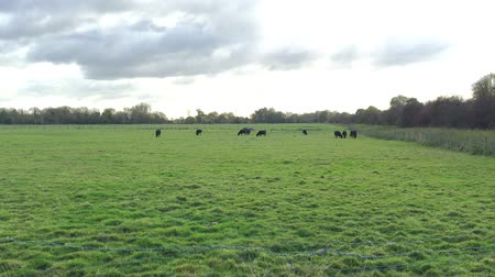 otlak : Cows in distance on pasture