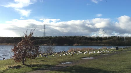 waddling : Flock of Ducks, Geese, Swans at rest, on the banks of a sunny English lake