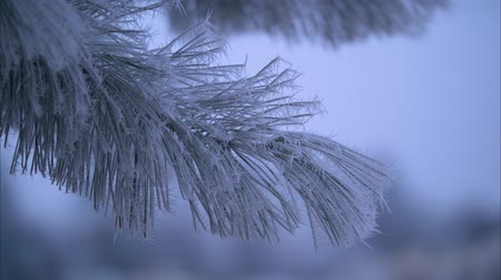 Handheld footage of frost on an evergreen in central Oregon.