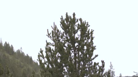 Footage of an evergreen treetop shot in the winter during a light snowfall and breeze. Dostupné videozáznamy