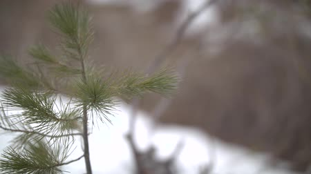 Footage of a pine sapling in the snow. Stock mozgókép