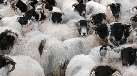 akılsız : Many sheep pushed together in cramped space