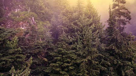 drone : Flying over rugged pine forest, small bird takes off, ascending into mist