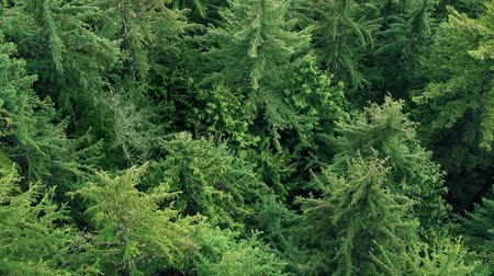 üzerinde : Aerial view of huge pine trees in an old growth forest