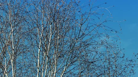 ветер : Deciduous trees without leaves sway in the wind Стоковые видеозаписи