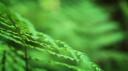 kapradina : Close-up of fern in forest, shallow depth of field