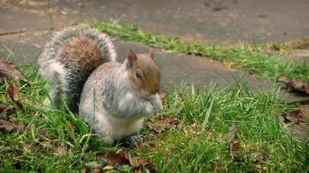 белка : Squirrel moves around, sits up and eats seed in the grass