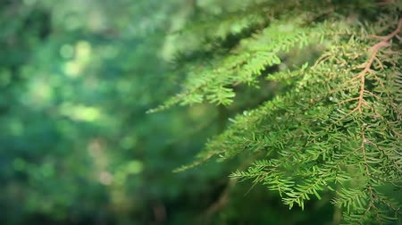 ekologia : Looped – Pine tree branch borders a forest scene with shallow focus and rich colors