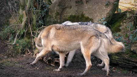 farkas : Male wolf joins his female partner looking through trash for things to eat