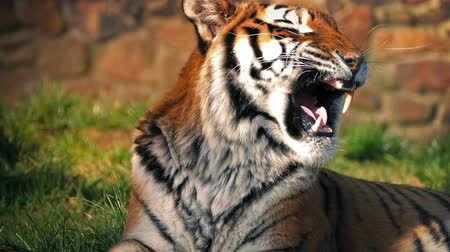 tigris : Tiger sitting in the sun does a big yawn then gets up and leaves Stock mozgókép