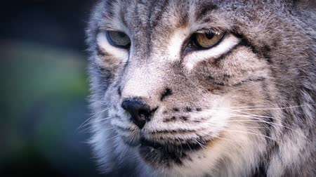 leopard cat : Thick coated big cat the siberian lynx looking around in the forest Stock Footage