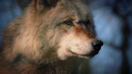 лесоматериалы : Big wolf stands alert in dramatic landscape Стоковые видеозаписи