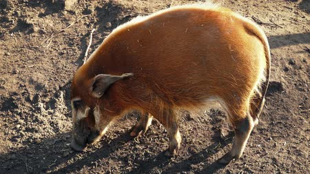 searches : Feral pig in the sunlight sniffs for things to eat